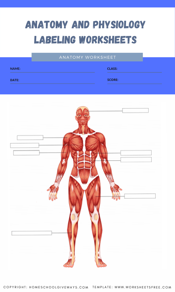 anatomy and physiology labeling worksheets 4