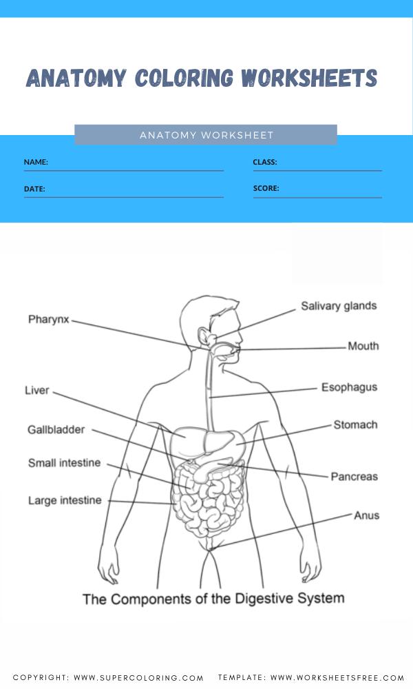 anatomy coloring worksheets 5