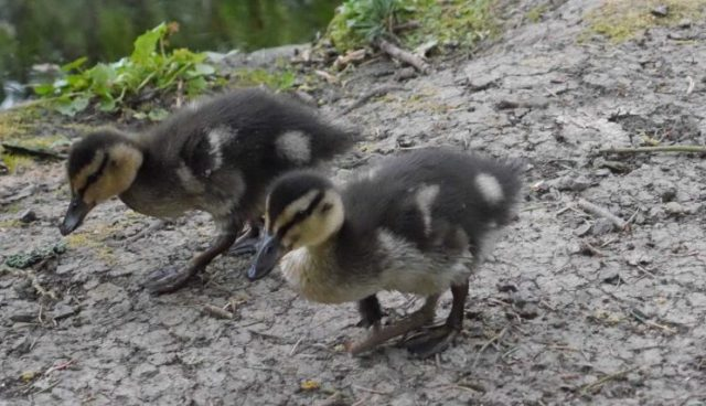 Pair of ducklings