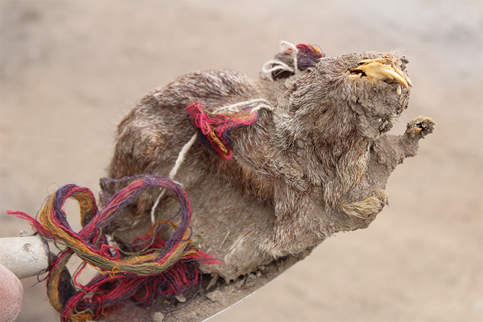 sacrificed guinea pig adorned with coloured camelid hair