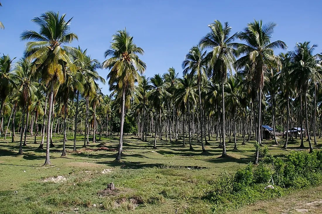 White Mosquitoes Ruining Coconut Plantations-Telugu Agriculture News