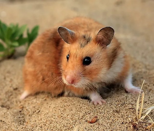 Where Do Hamsters Live In The Wild