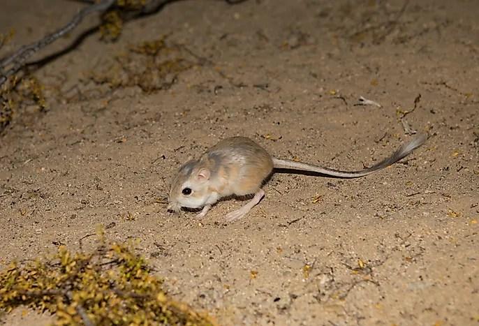 # 2 Rato do Deserto