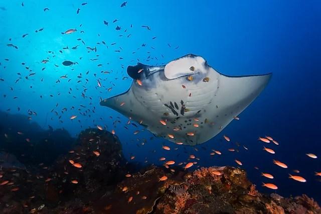 #10 Reef manta ray