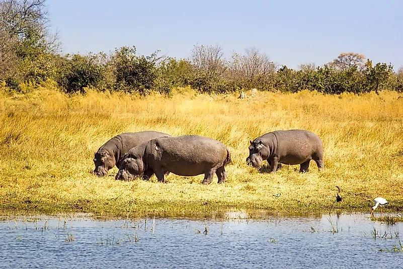 # 9 Hipopótamo