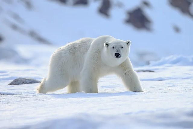 #1 Polar Bear