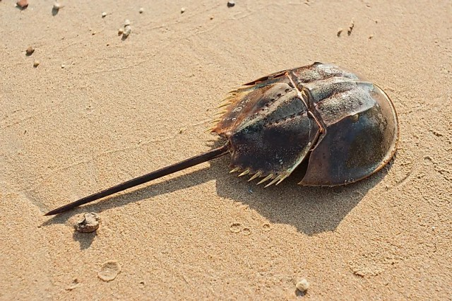 #5 Horseshoe Crab – 445 million years old