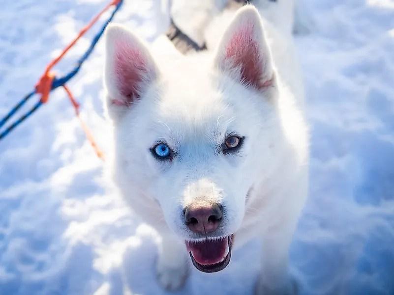 Husky feliz com heterocromia.