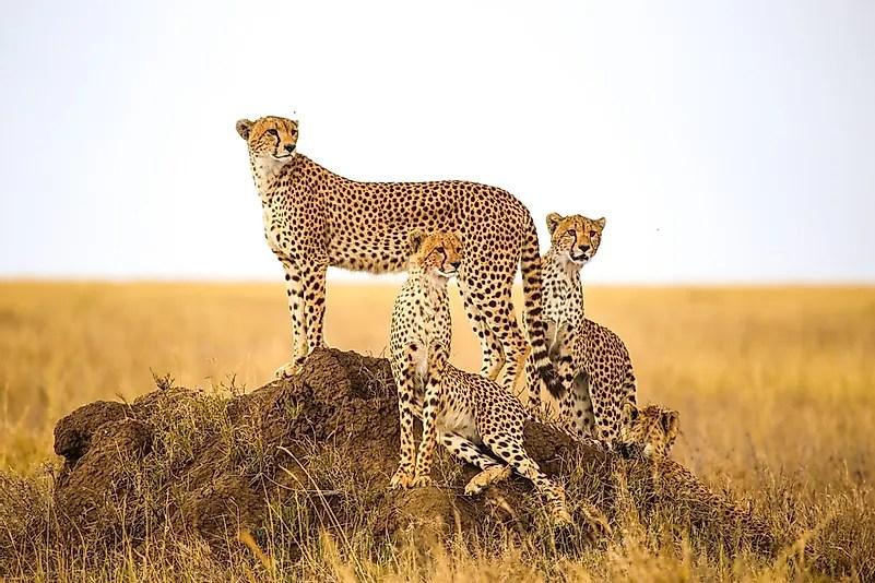 # 1 Cheetah