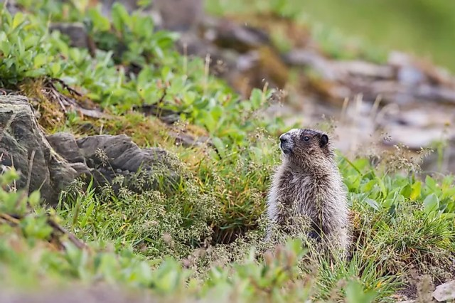 #12 Marmot