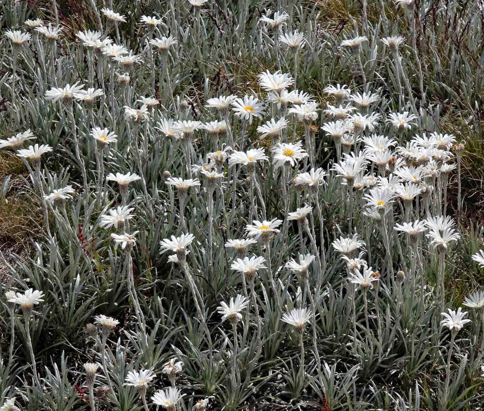 Australian flowers kosciuszko national park snowy mountains australian flowers kosciuszko national park snowy mountains australia mightylinksfo