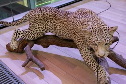Cheetah, Great Gallery of Evolution in Paris