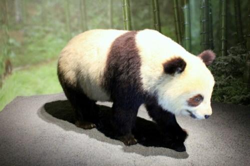 Panda w Galerii Ewolucji w Paryżu