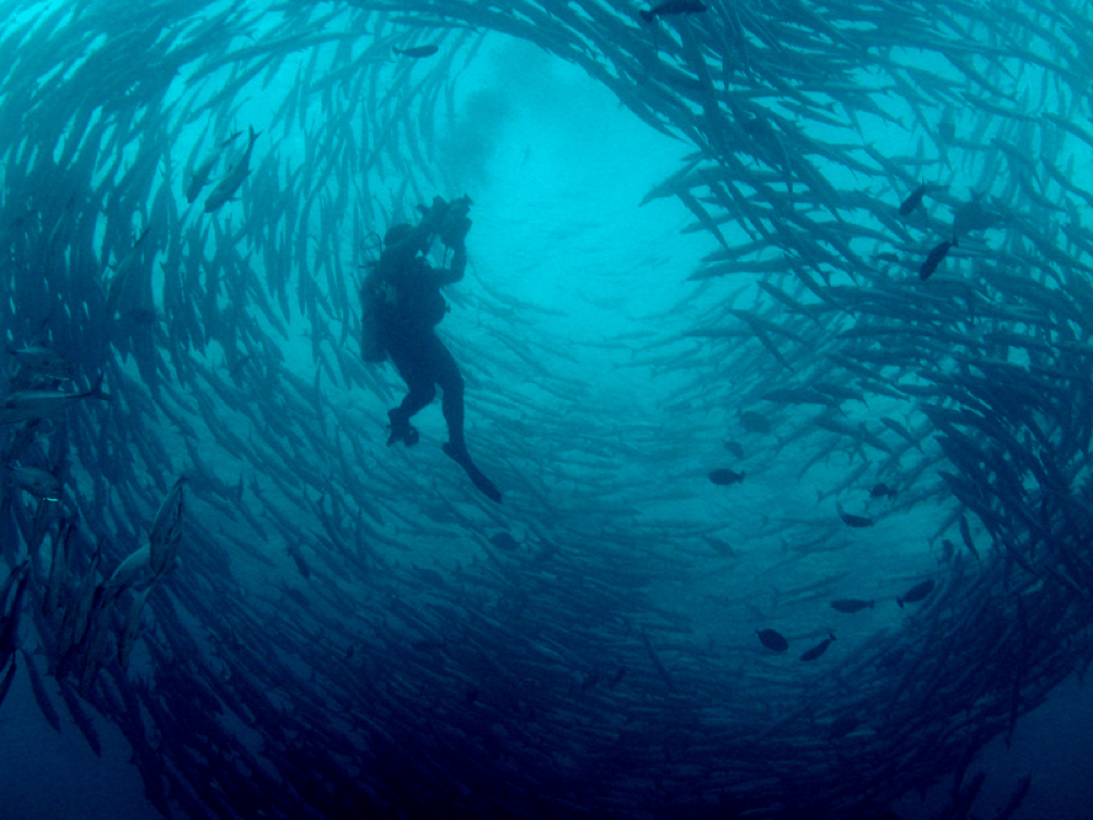 The magical swirling barracudas of Barracuda Point. (Source: https://www.flickr.com/photos/visitmalaysia/5527609199)