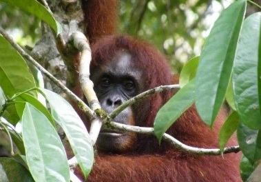 orangutan batang ai