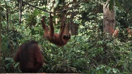 Sepilok Orangutan Rehabilitation Centre Sandakan