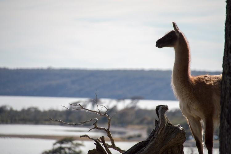 Guanaco, a common sight in Chilean Tierra del Fuego.