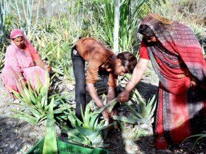 The women of the village tending Aloe Vera
