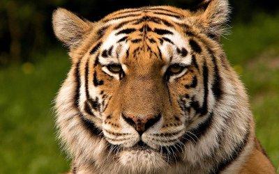 World Voice: Where Humans Dare @Global_TigerDay #globaltigerday