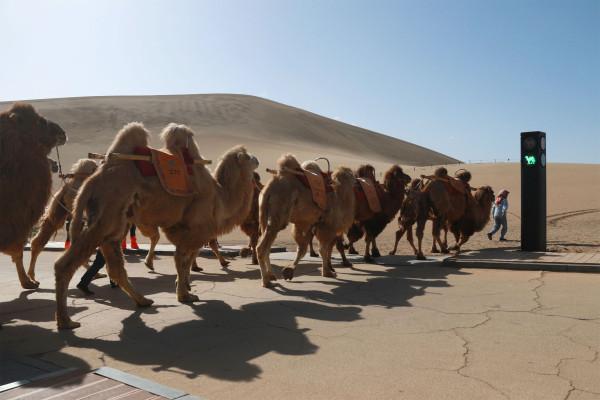 China lanza semáforo para camellos