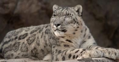 Leopardo de las nieves en zoológico da positivo por COVID-19