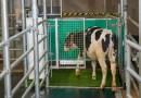 Las vacas están aprendiendo a ir al baño para reducir las emisiones de gases de efecto invernadero