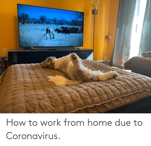 Medium-sized work-at-home dog laying on back on bed watching a tiger on a big screen television in this coronavirus meme