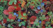 Tdf_bilberries