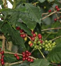 Coffee Beans Selva