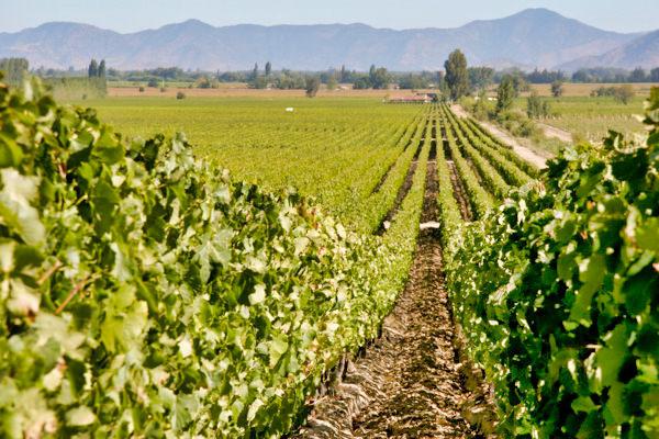 Colchagua Valley Vines