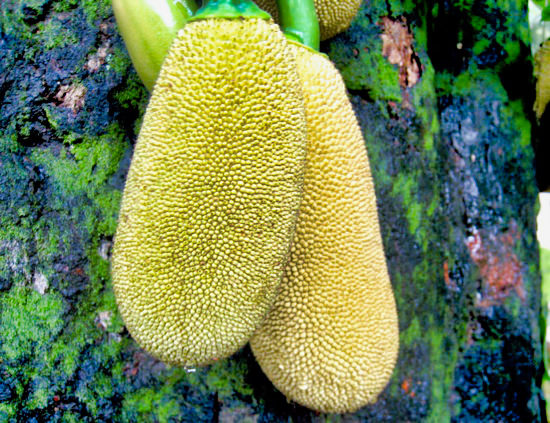 Trancoso Jackfruit