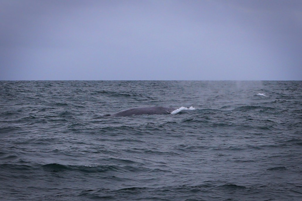 So hard to catch on camera, but here is a blue whale surfacing and spouting at same time.