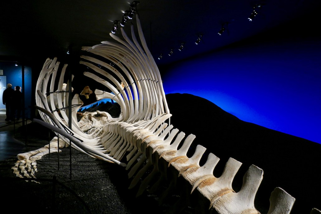 Skeleton of a blue whale that washed up on Iceland in 2010-exhibit in Husavik Whaling Museum