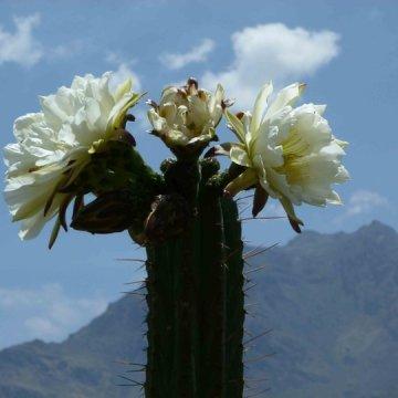 Trichocereus Peruvianus var Huancayo (Peruvian Torch) Seeds