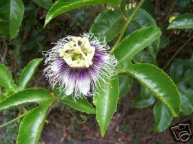 Passiflora Edulis Flavicarpa (Yellow Passion Fruit) Seeds