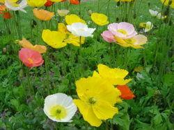 Papaver Nudicaule (Iceland' Poppy) Seeds