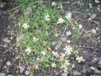Matricaria Recutita (German Chamomile) Seeds