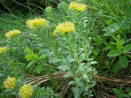Rhodiola Rosea (Golden Root) Seeds