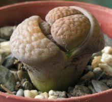 Lithops Hookeri Seeds