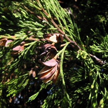 Calocedrus Decurrens  (INCENSE CEDAR) Seeds