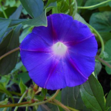 Ipomoea Ott (Grandpa Ott's Morning Glory) Seeds