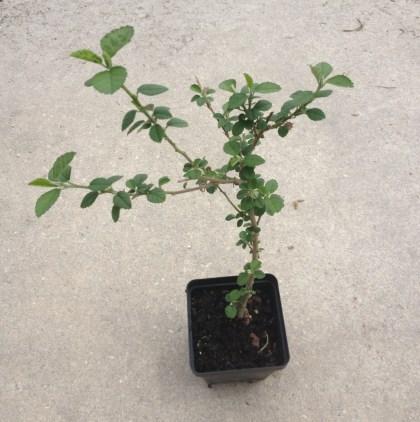 Sida Cordifolia (Bala) - Live Plant