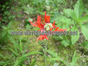 Papaver Somniferum (Danish Flag Poppy) Seeds