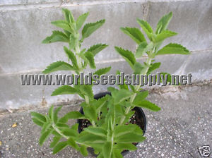 Stevia Rebaudiana (Sweet Leaf) Seeds