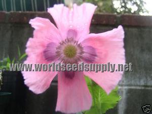 Papaver Somniferum (Single Lilac Poppy) Seeds