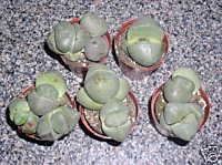 Pleiospilos Nelii (Splitrock) Seeds