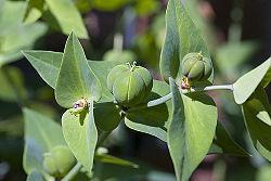 Euphorbia Lathyris (Mole Spurge) Seeds