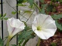 Datura Ceratocaula  (MOONFLOWER) Seeds