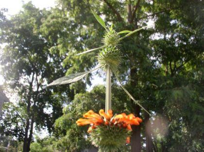 Leonotis Nepetifolia (Klip Dagga) Seeds