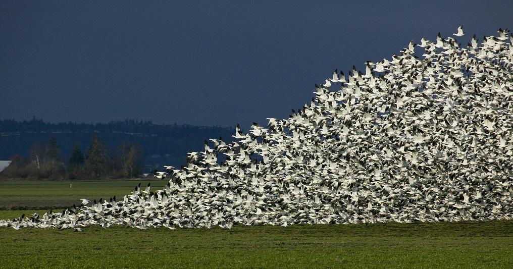 snow goose hunting, atlantic snow goose hunt, snow goose hunt, goose hunt